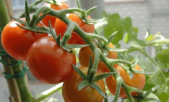 Καλλιέργεια βιολογικής ντομάτας σε γλάστρα, βιολογικά προϊόντα, βιολογικά στο σπίτι σου, βιολογικά online,