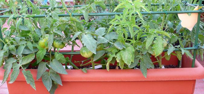 Πως να καλλιεργήσω βιολογική ντομάτα στον κήπο ή τη γλάστρα