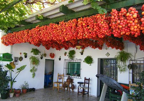 Ανάποδη Καλλιέργεια Ντομάτας